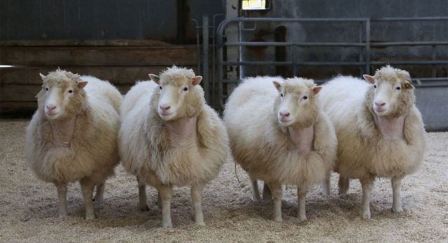 The normal, boring life of a clone: Dolly's cloned cohort hits old age