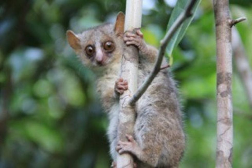 One of a set of three new mouse lemur species described this year. <em>Microbus ganzhorni</em> hails from Madagascar—as do all lemurs.
