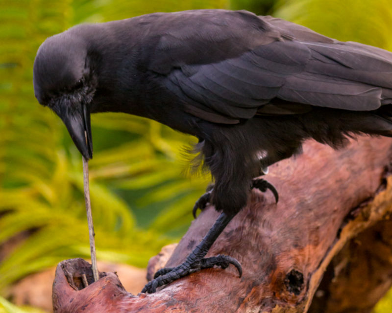 A Hawaiian crow will carefully choose and shape a stick to snag food.