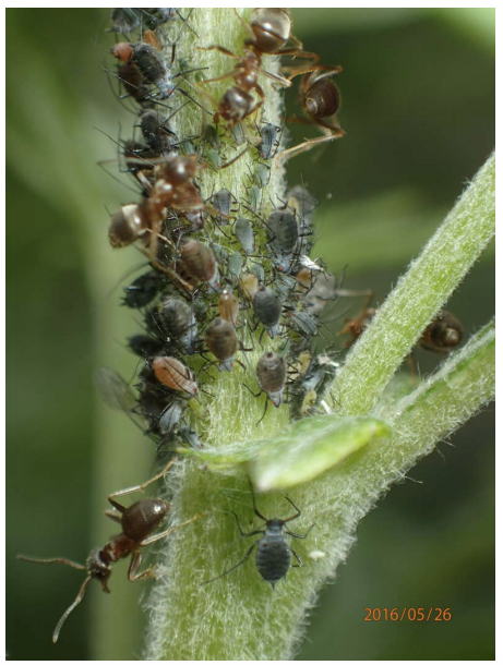 "Here you can see some of the ants and mugwort aphids that the researchers studied. The ""red"" aphids appear brown and orange, while the ""green"" ones appear green and black."