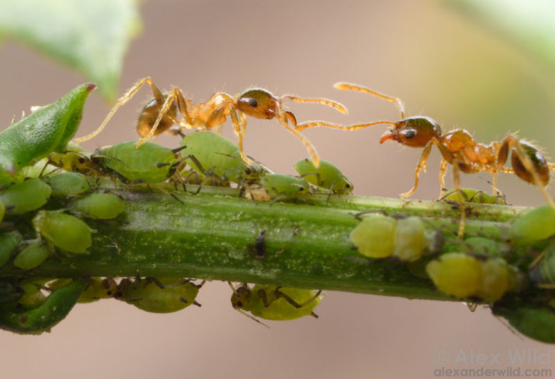 Ants from the species <em>Pheidole megacephala</em> tending aphids. They protect the tiny insects from predators and milk them for a sugary fluid called honeydew.