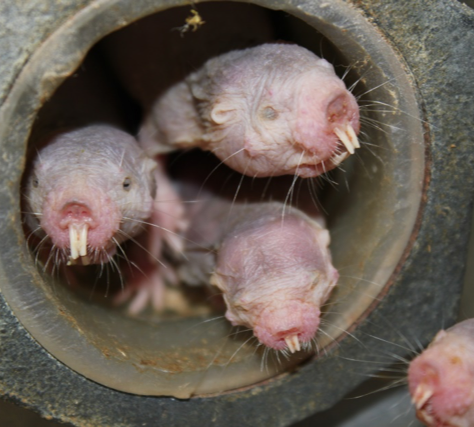 Three naked mole rats crowd through a tunnel together. The rodents live tightly packed in burrows beneath the desert and have evolved to feel no pain from heat sensitivity.