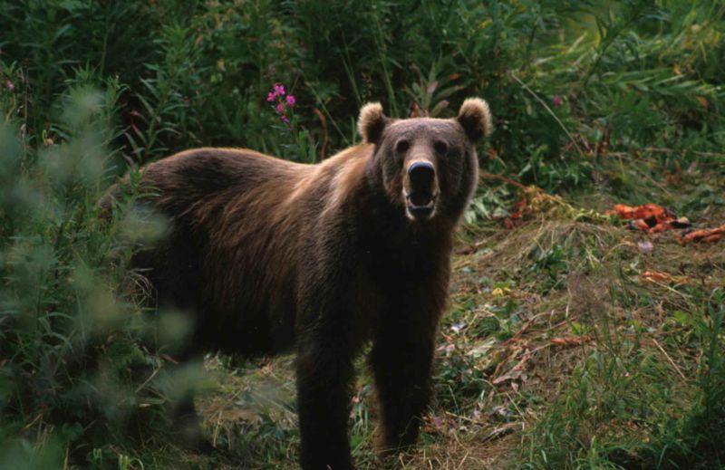 Big_brown_bear_ursus_arctos-800x519.jpg