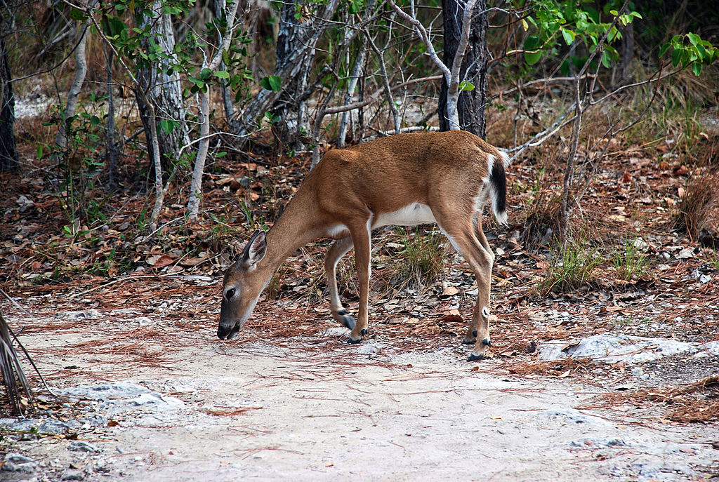 A Key deer feeds at the National Key Deer Refuge on Big Pine Key, Florida.