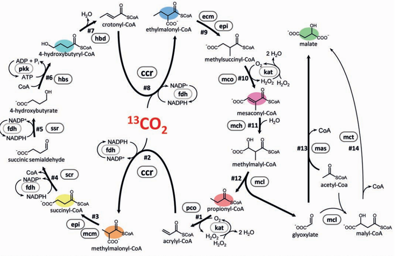 The new cycle in all its glory. Note that the same enzyme uses carbon dioxide at two points in the pathway, meaning each turn of the cycle uses two molecules of the gas.