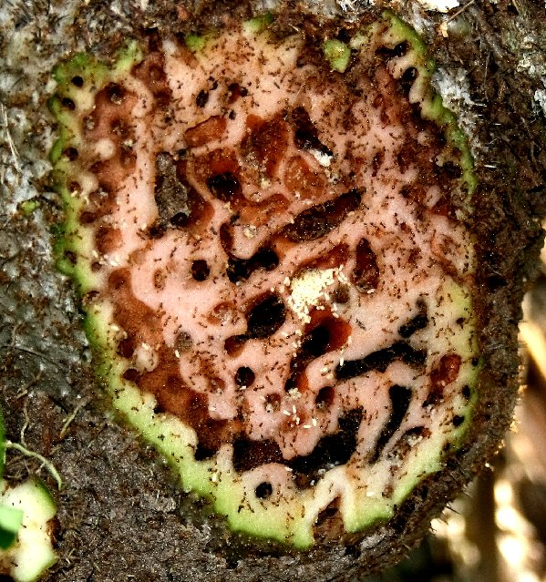 In this dissected fruit, you can see the chambers in the fruit where ants live. Ants place their eggs in the smooth-walled chambers, while the crusty black chambers are full of waste.