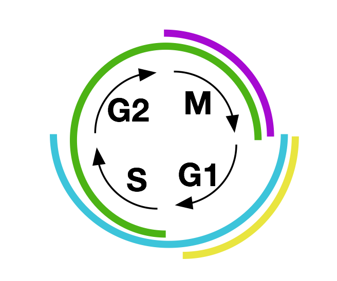 Each portion of the cell cycle is marked by a distinctive combination of colors.