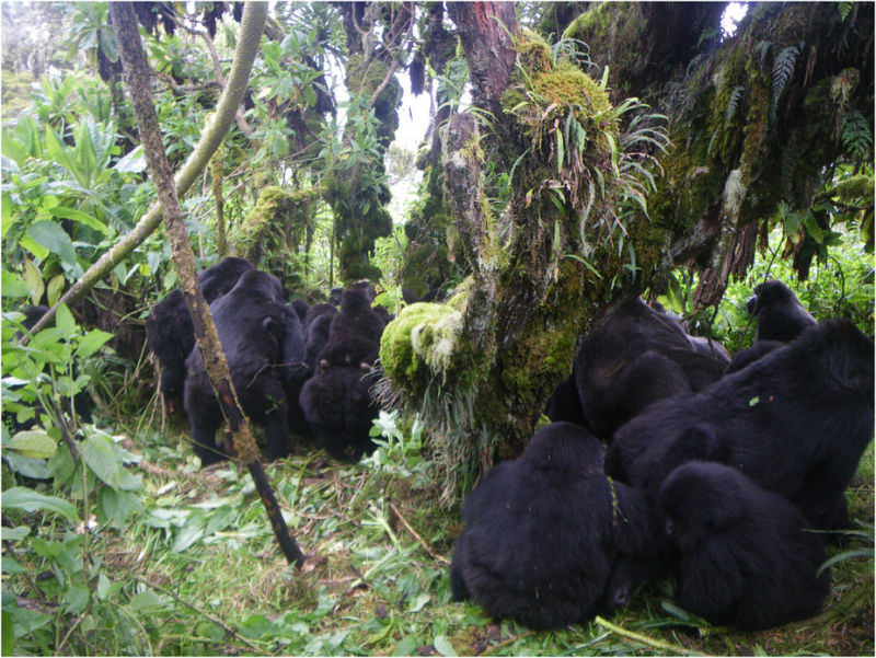 A gorilla mob surrounding a victim