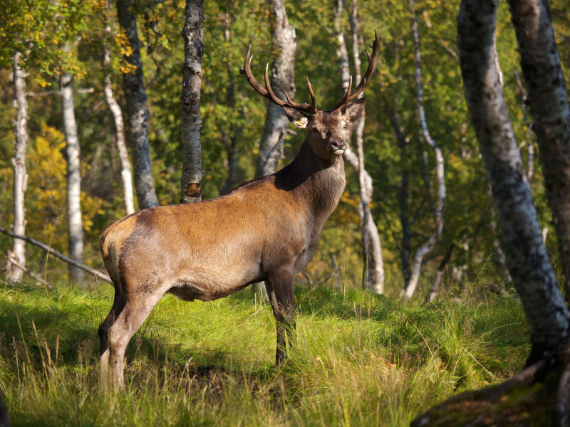 A red deer in Norway
