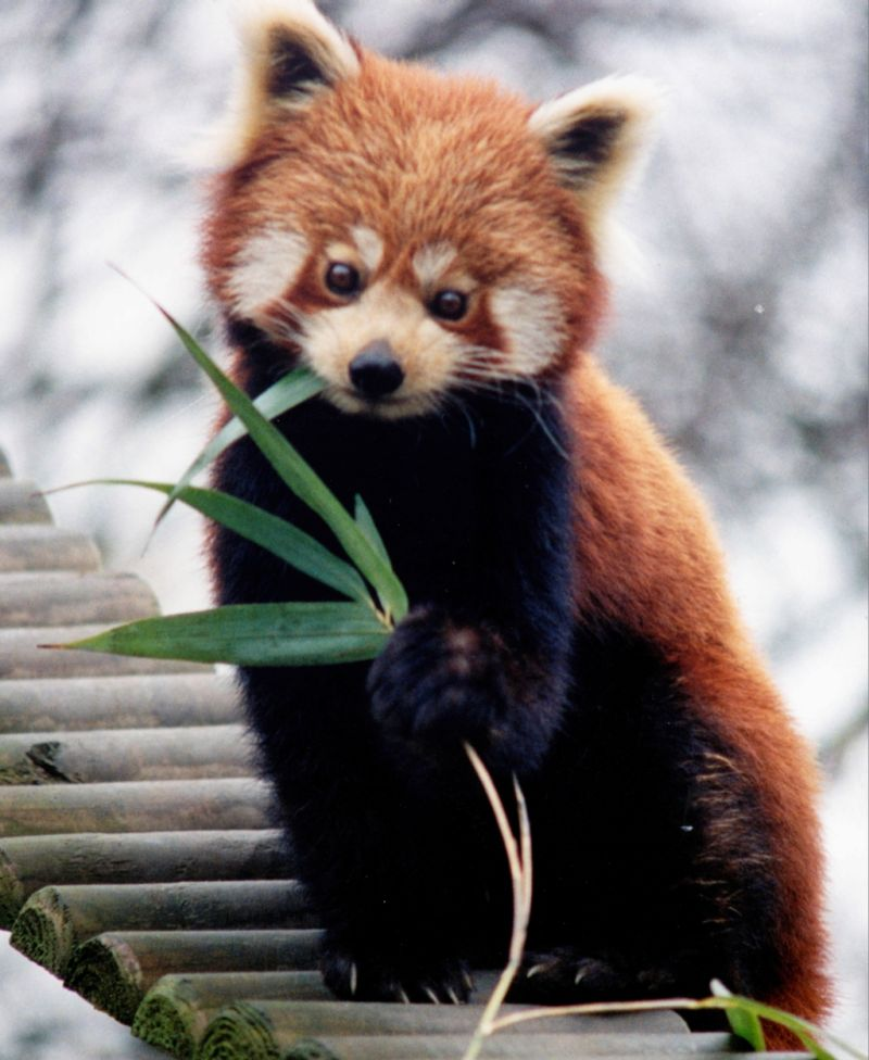 Red panda and giant panda genomes show convergent evolution