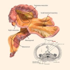A digital representation of the small and large intestines and associated mesentery. Credit: J Calvin Coffey, D Peter O'Leary, Henry Vandyke Carter.