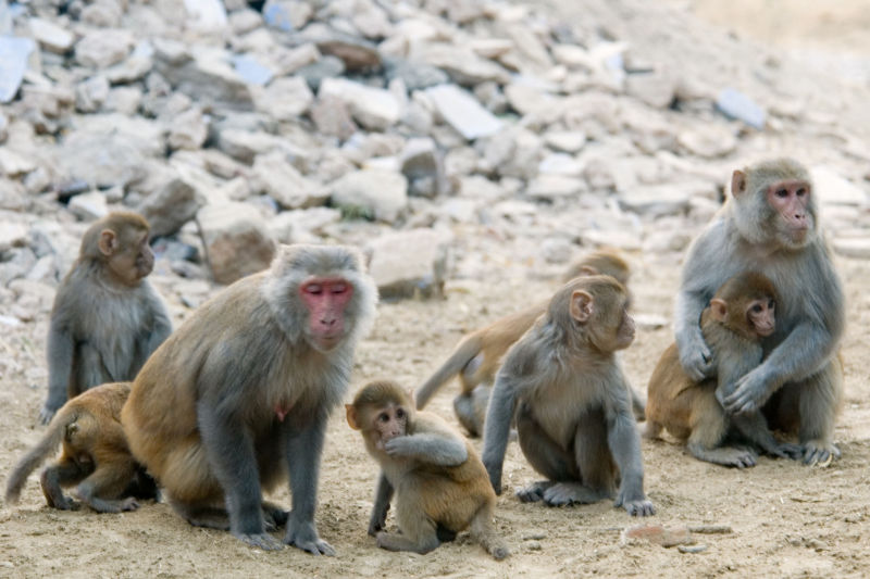 Rhesus monkeys pass the mirror test, but only after training