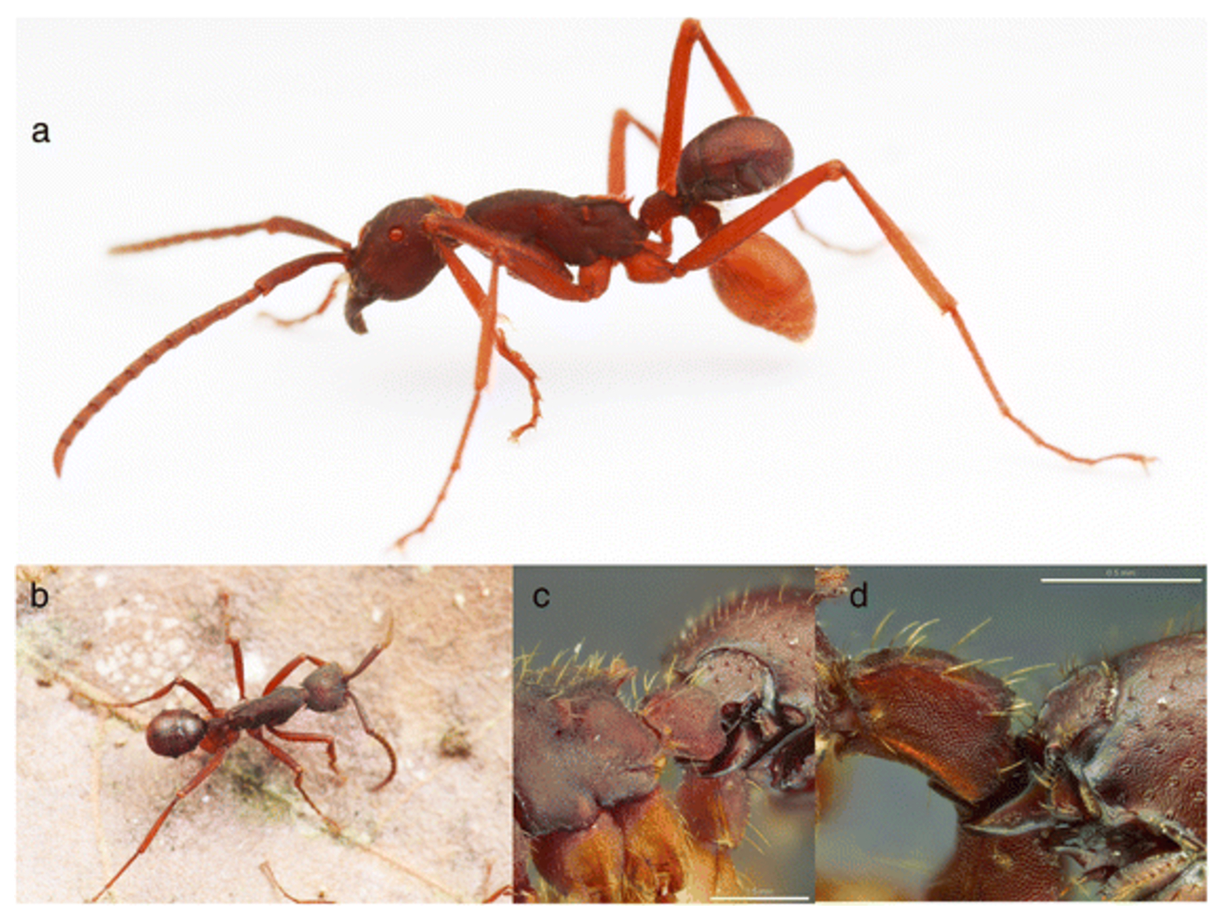 Above, you can see <em>N. kronaueri</em> attached to the ant's back and using its mandibles to grip between the second and third segments of the ant's body. Below, a close-up of the beetle's mandibles clamped on.
