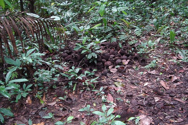Brazil nuts scattered at the base of trees in the Amazon. These trees are so common in the Amazon today because of human cultivation that began over 8,000 years ago.