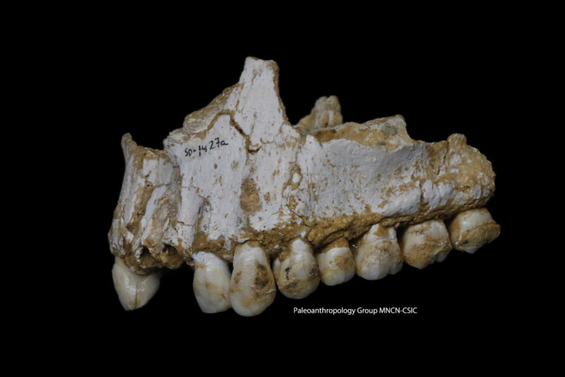 The jaw of the El Sidron individual found to be consuming poplar and Penicillium-containing vegetation.