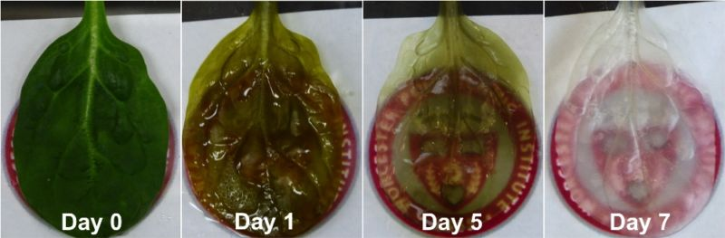 spinach leaf transforms into sheet of beating human heart cells, Muscles