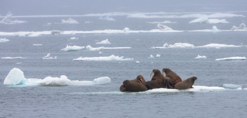 Walruses on floating ice, Chukchi Sea.