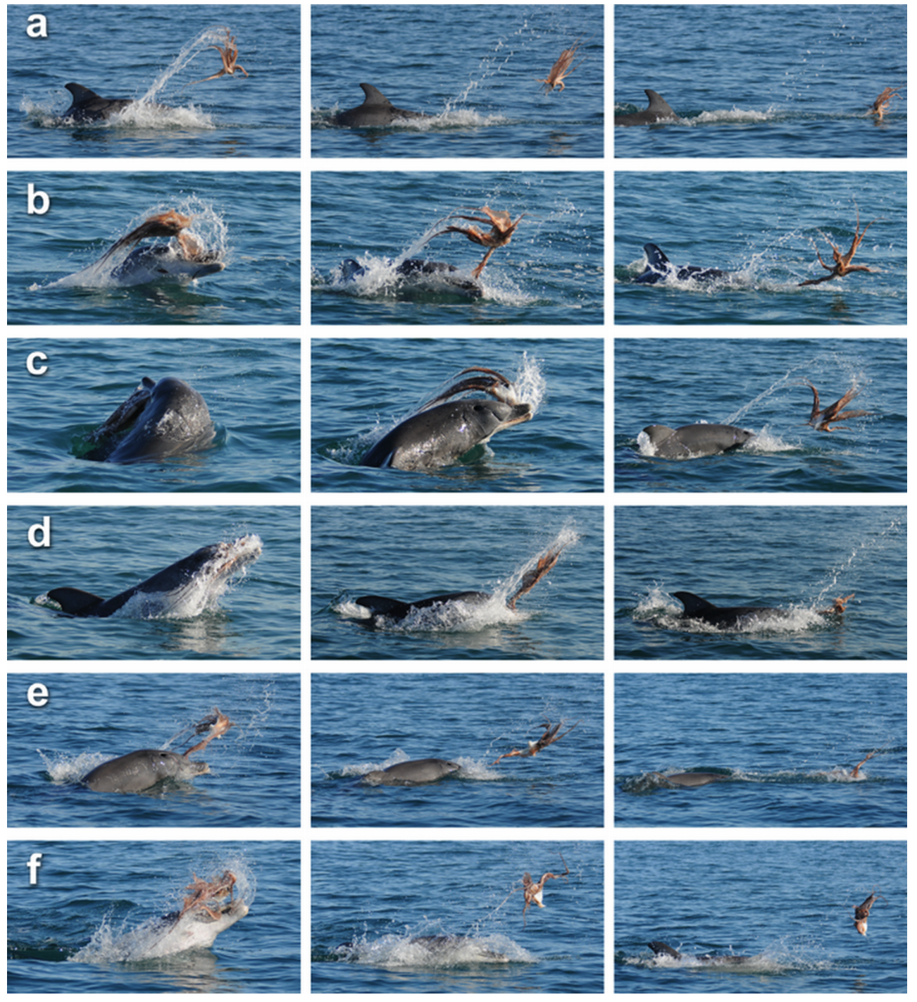 The many fighting postures of the dolphin and the octopus.