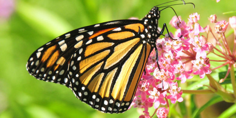 A farewell to kings? New ideas on the vanishing monarch butterflies