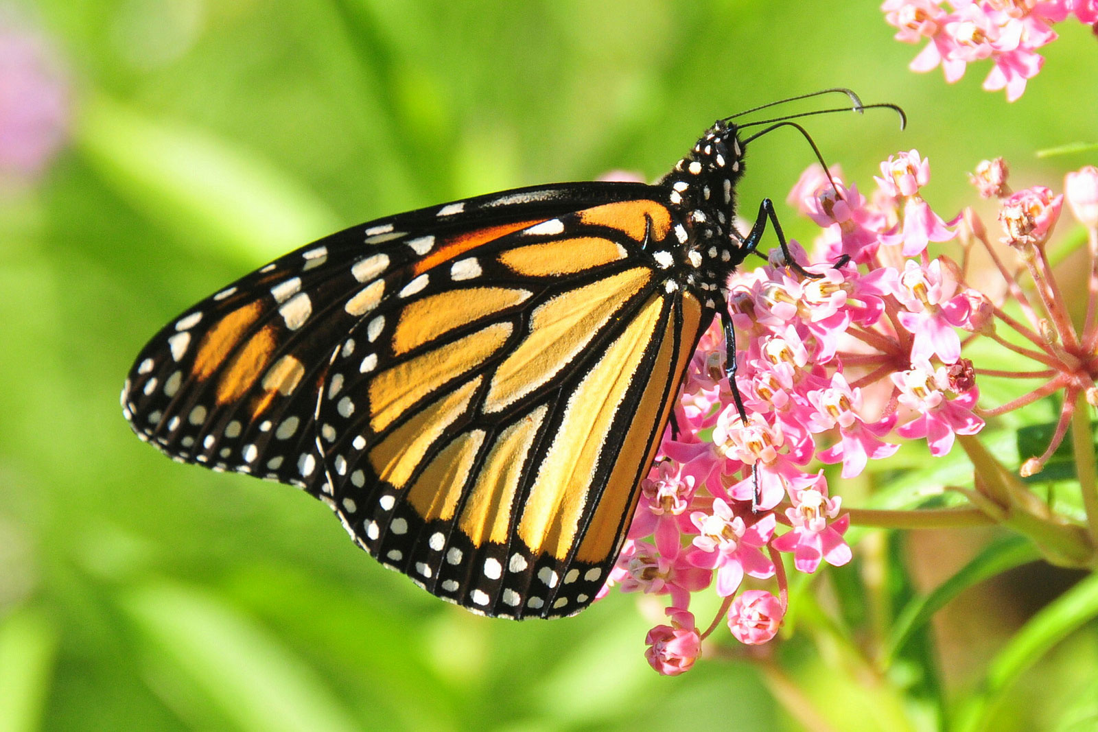 A farewell to kings new ideas on the vanishing monarch enlarge buycottarizona