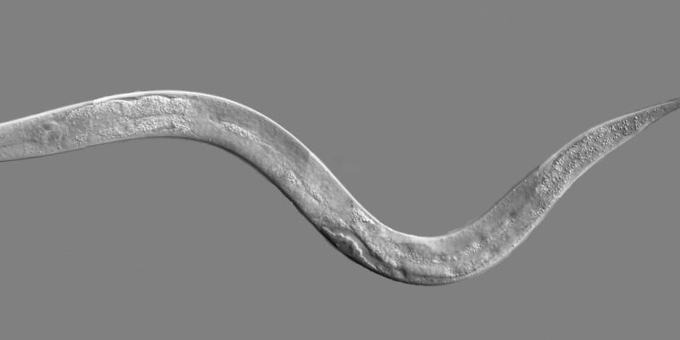 Worm moms pump eggs full of toxin, demand they inherit an antidote