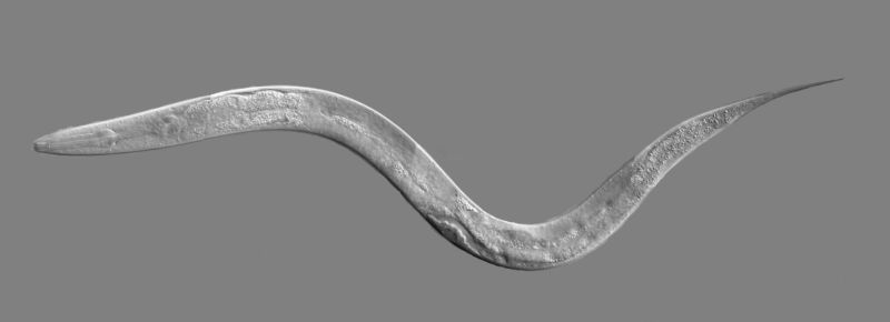 <em>C. elegans</em>, with the pharynx in the end that's on the left.