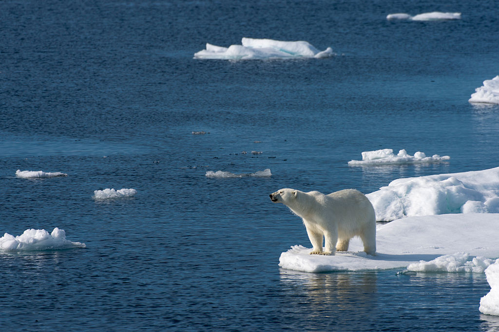 A polar bear (Ursus maritimus) is looking for food at the edge of the pack ice north of Svalbard, Norway in July 2015.