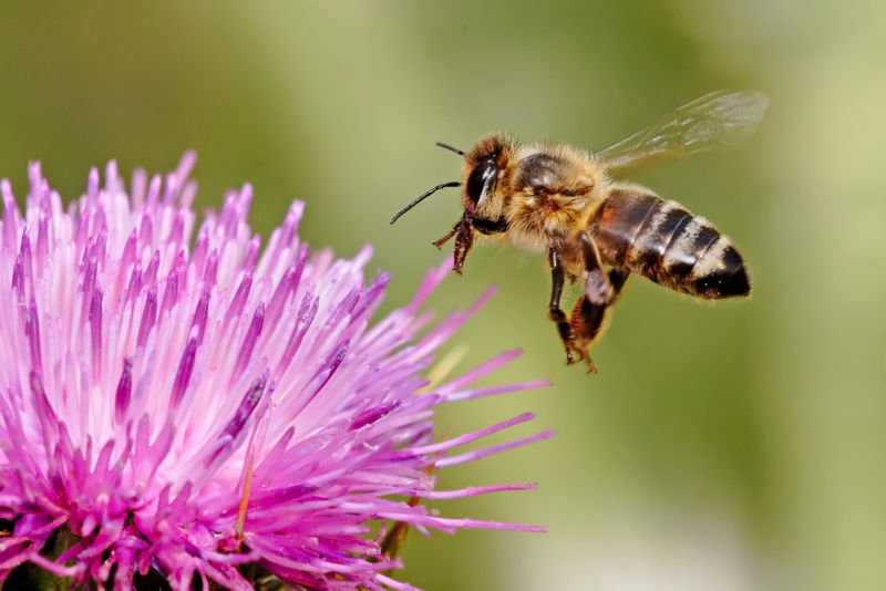 Study paints a confused picture of how insecticides are affecting bees