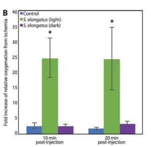 Compared with the control and <em>S. elongatus</em> (dark) groups, the <em>S. elongatus</em> (light)–treated group showed significantly elevated levels of tissue oxygenation at 10 (P = 0.002) and 20 (P = 0.004) min after injection with an almost 25-fold increase relative to the time of ischemia.