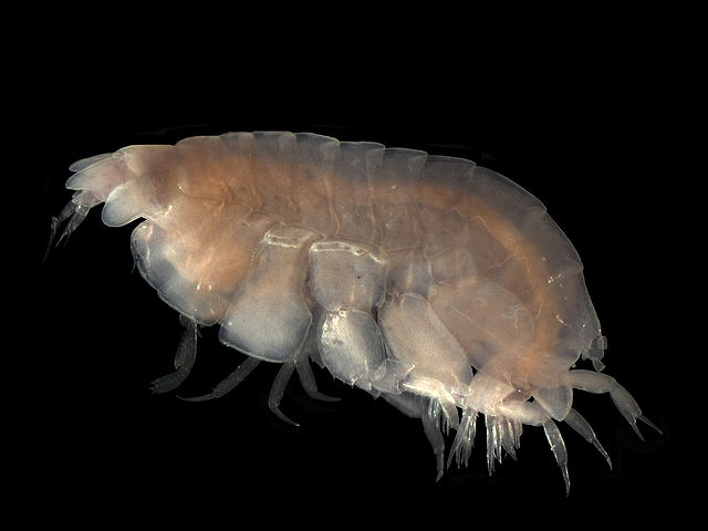 An example of a lysianassid amphipod.