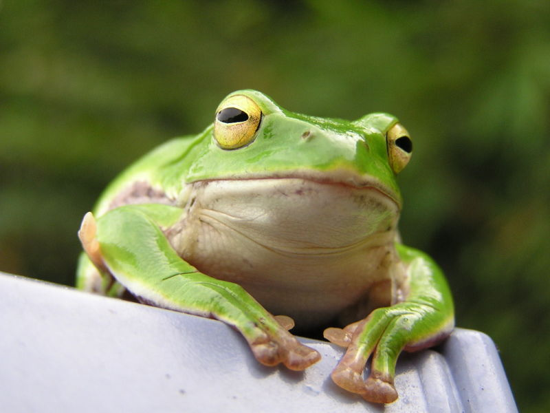 Gab insists that its frog mascot is not related to Pepe, the cartoon frog that has been adopted as a mascot for the alt-right.
