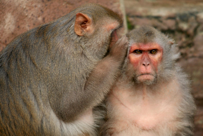 Rhesus macaques are a social species, complete with gossip and angry faces.