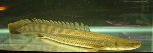 The odd-looking bichir.