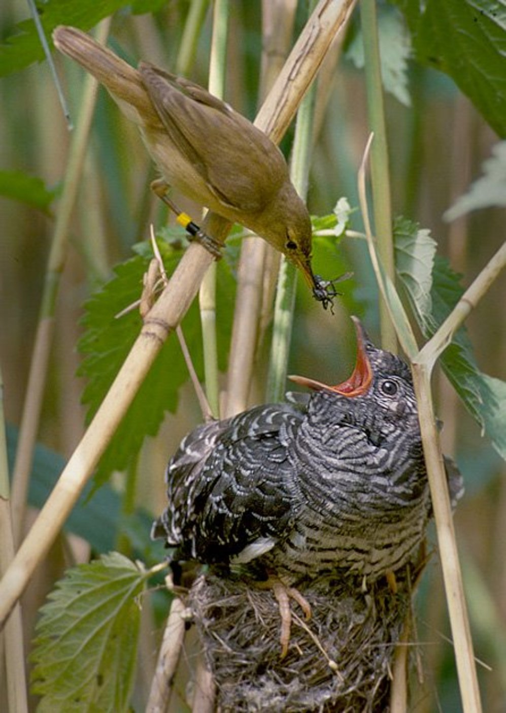 cuckoo calls sound like hawks to distract the birds they re preying
