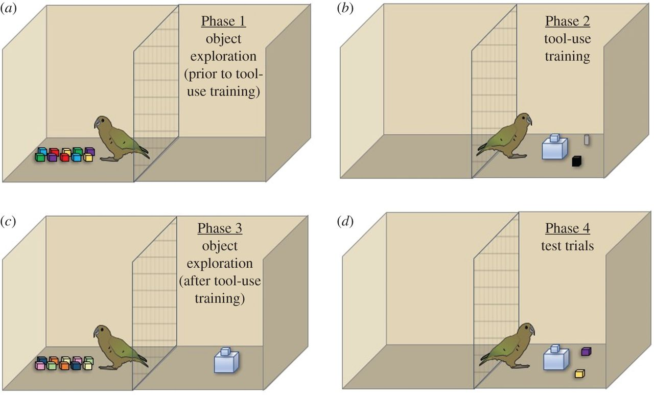 During these phases of the experiment, crows and kea played with toys, then turned them into tools to get food from a food platform.