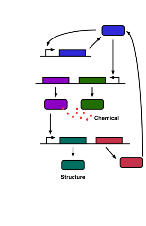 The blue gene at top makes a blue protein that activates its own gene as well as the green and purple ones. The green one manufactures a chemical. When the chemical is present in sufficient quantities, it'll stick to the purple protein, which actives the red and turquoise genes. The turquoise gene makes a protein that forms an external structure. The red gene makes a protein that destroys the blue one, shutting everything back down.
