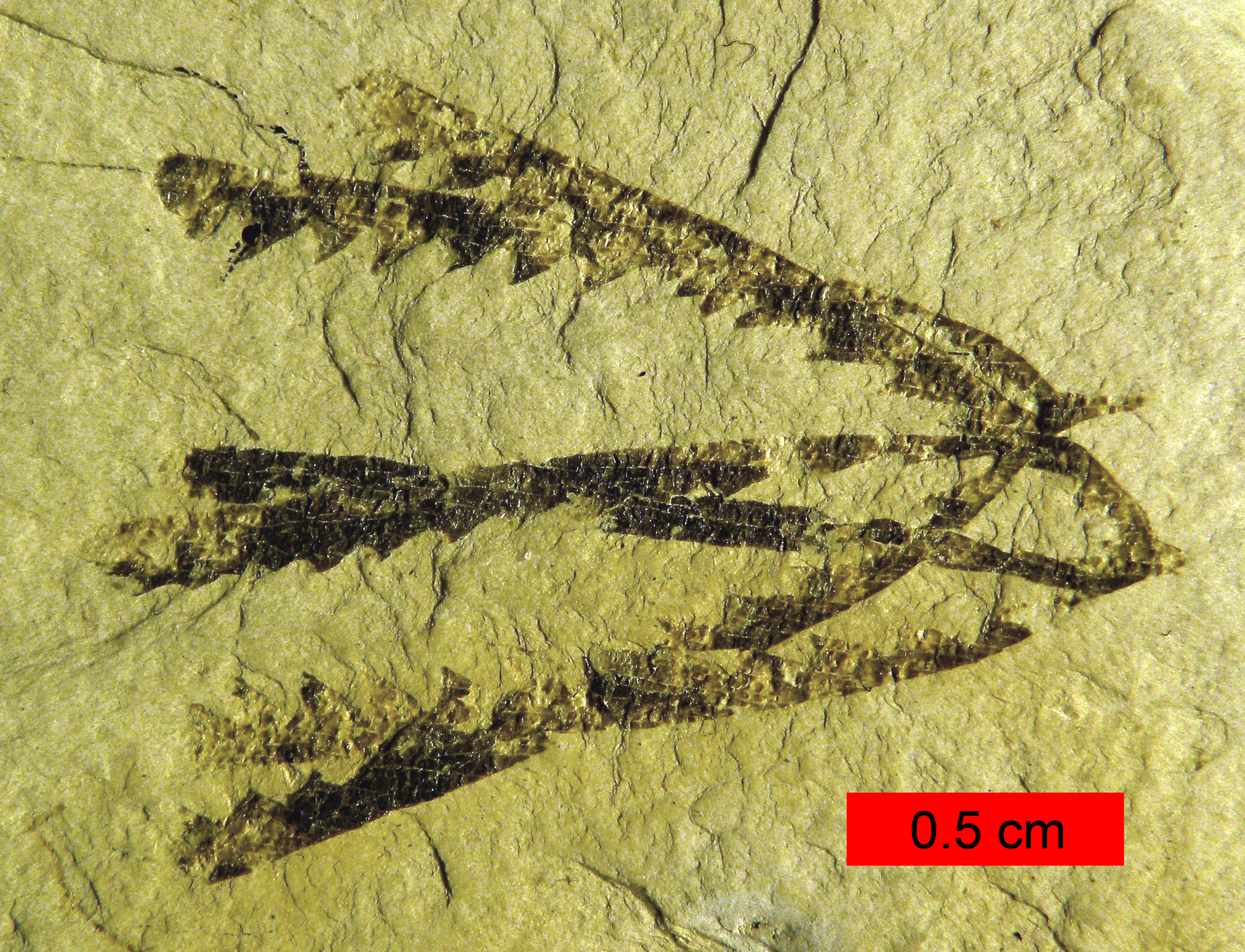 Fossils of graptolites from the Ordovician period. Here you can see a few overlapping tubes, which would have held members of a graptolite colony.