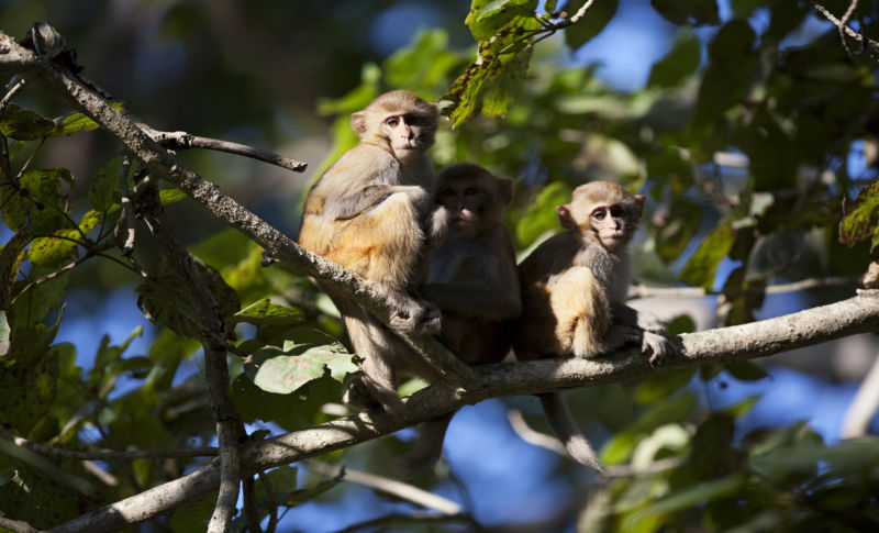 Don't Touch the Monkeys! Florida Macaques Carry Virus Lethal to Humans