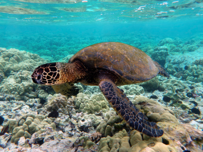 Global warming has turned nearly  all Great Barrier Reef sea turtles female
