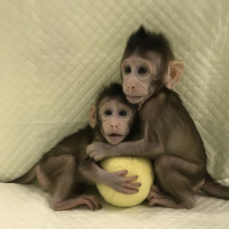 these baby monkeys are first cloned primates created using the dolly