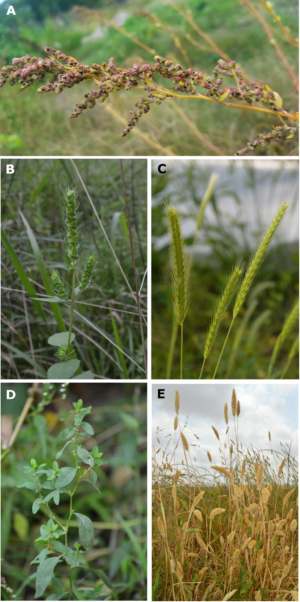 Here you can see some of the lost crops of North America: a) goosefoot (<em>Chenopodium berlandieri</em>); b) sumpweed/mars helder (<em>Iva annua</em>); c) little barley (<em>Hordeum pusillum</em>); d) erect knotweed (<em>Polygonum erectum</em>); e) maygrass (<em>Phalaris caroliniana</em>)
