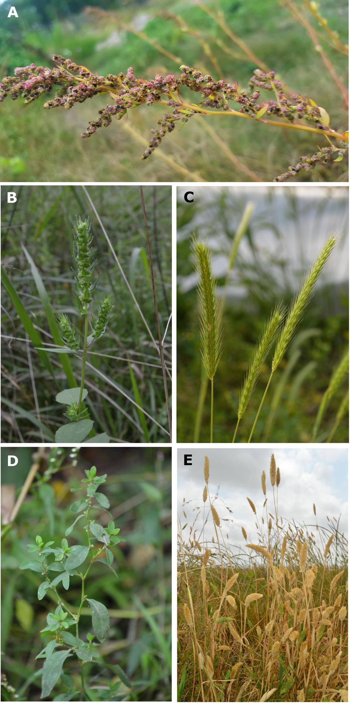 Here you can see some of the lost crops of North America: a) goosefoot (<em>Chenopodium berlandieri</em>); b) sumpweed/mars helder (<em>Iva annua</em>); c) little barley (<em>Hordeum pusillum</em>); d) erect knotweed (<em>Polygonum erectum</em>); e) maygrass (<em>Phalaris caroliniana</em>)