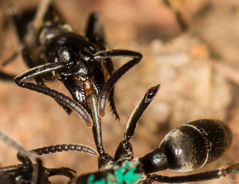 Soldier ants rescue and deal with wounded comrades