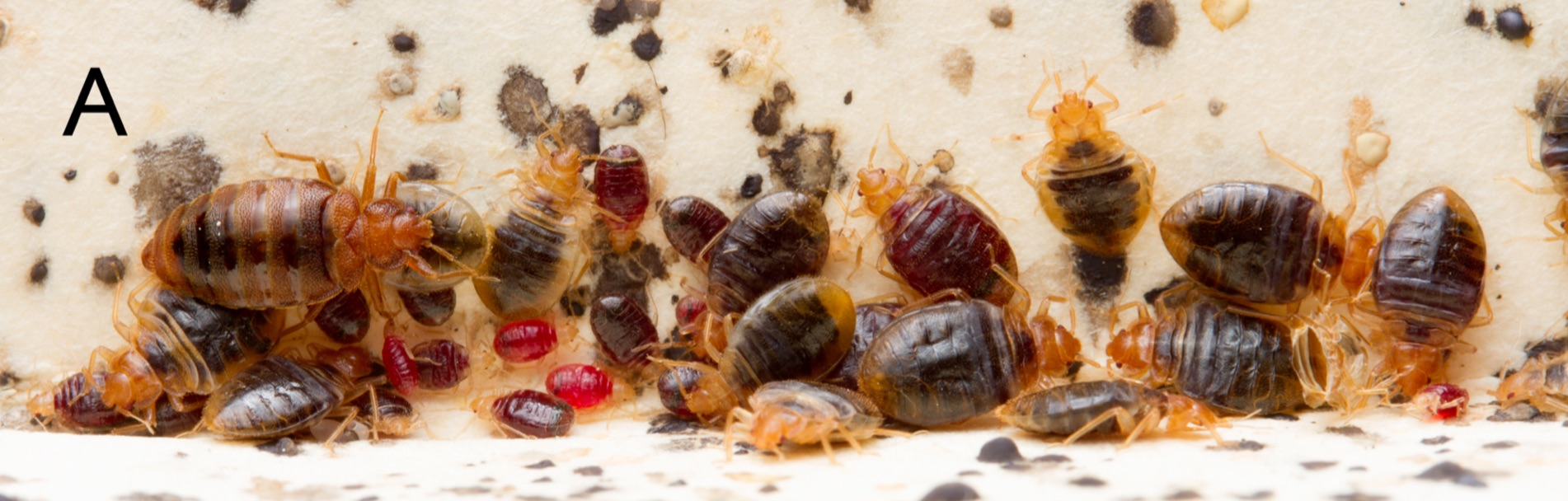 More Nightmare Fuel Bedbugs Create Cesspool Of Poop And Histamine