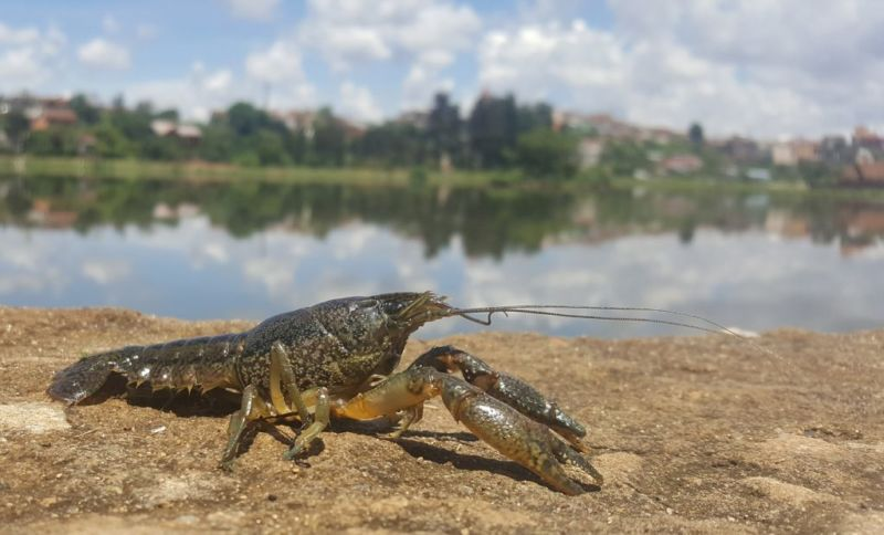 Mutant crayfish got rid of males, and its clones are taking over the world