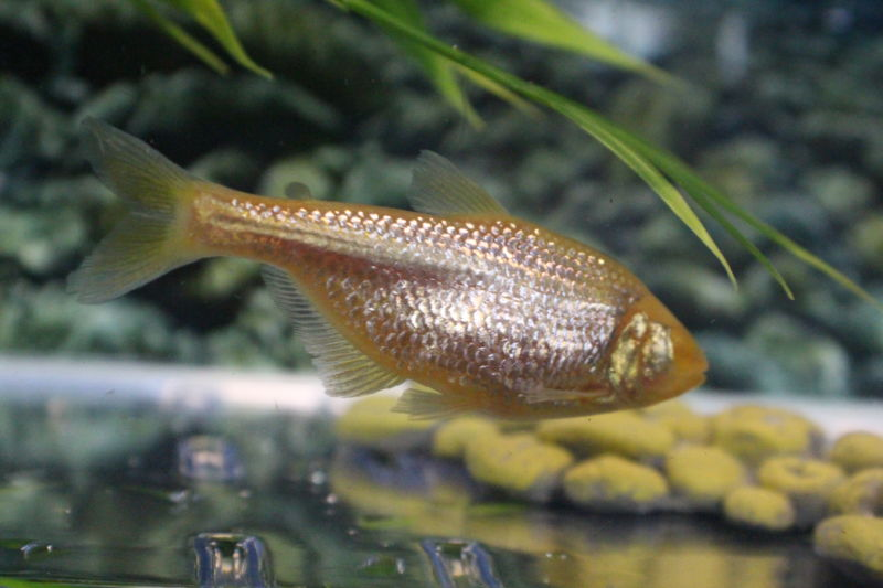 Blind cavefish seem to ignore insulin without health consequences