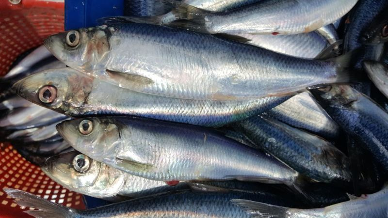 Herring could actually benefit from ocean acidification