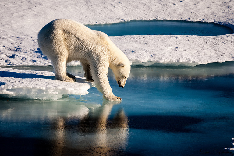 Polar bear fur insulates even when wet.