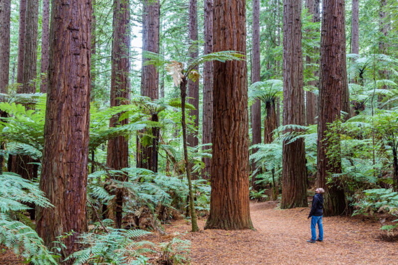 A tourist walks in the Redwood forest amongst tall trees in Rotorua, New Zealand.