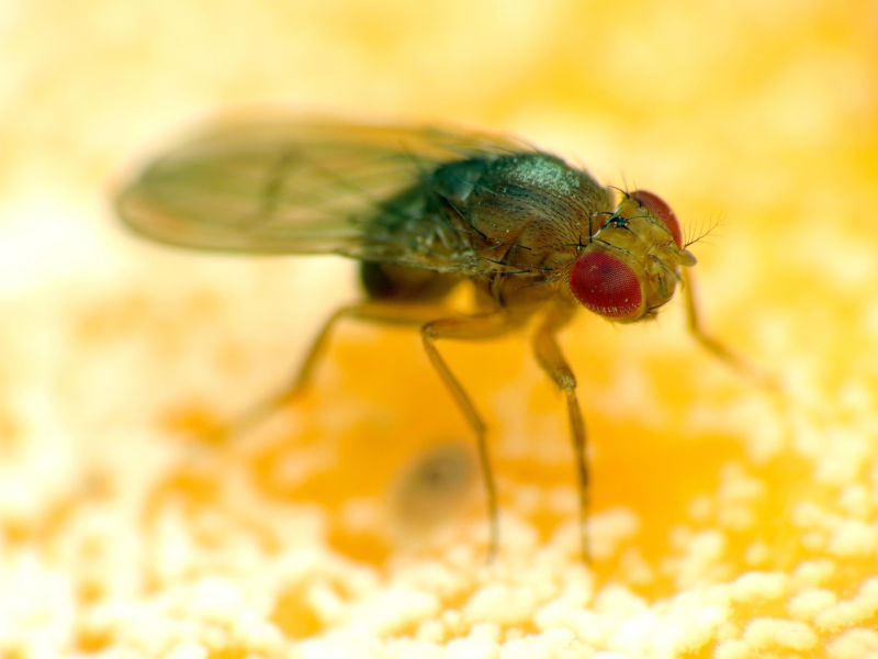 Image shows a male fruit fly.